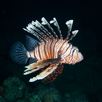 Night dive Lionfish