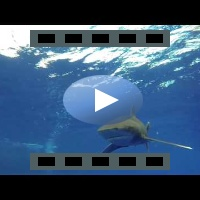 2 Oceanic White tip Sharks