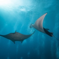 Manta Rays in bubbles