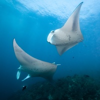 Flying Manta Rays