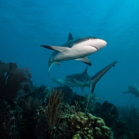 Caribbean Reef Shark
