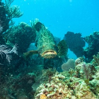 Kanic obrovský (Atlantic goliath grouper)