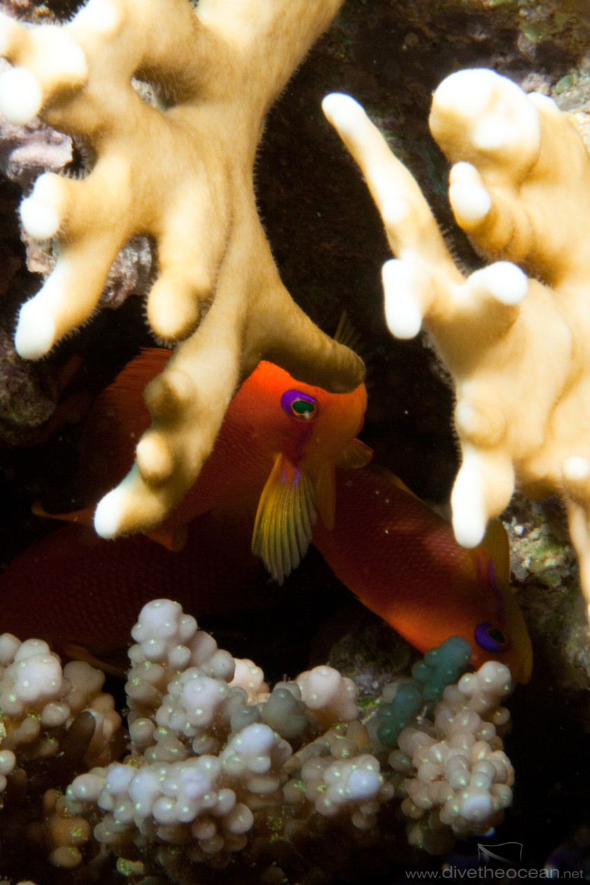 Jewel fairy basslet (Pseudanthias squamipinnis)  behind fire coral