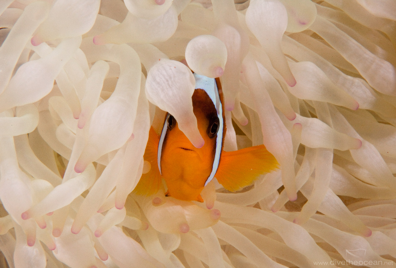 Buble anemone & Red Sea anemonfish (Amphiprion bicinctus)